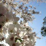 児玉町成就院の桜